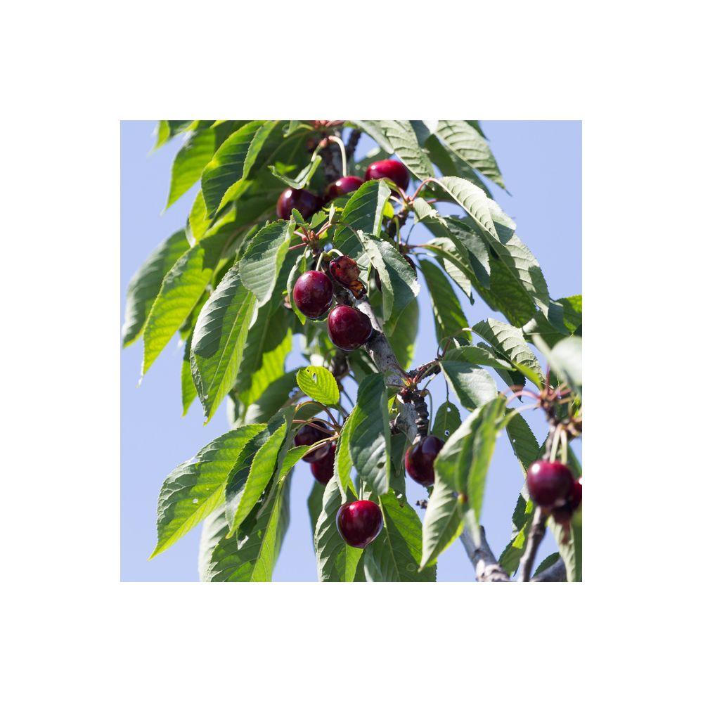 Cerisier bigarreau 39 regina 39 taille en gobelet plantes - Que planter en janvier ...