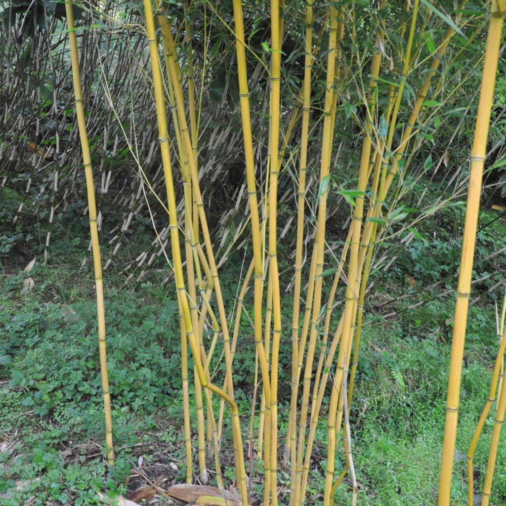 Bambou moyen phyllostachys aureosulcata 39 aureocaulis for Bambou moyen phyllostachys bissetii