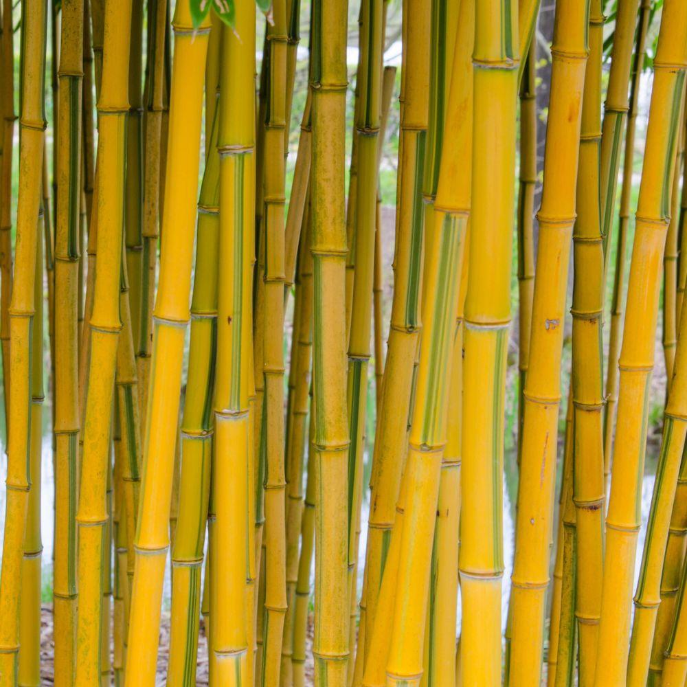 Bambou moyen phyllostachys aureosulcata 39 spectabilis for Bambou interieur entretien