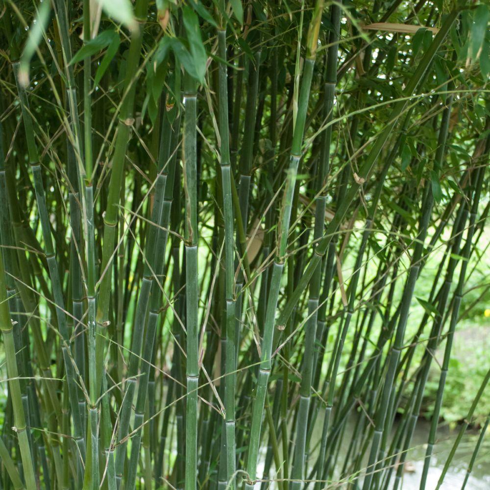 Bambou moyen phyllostachys bissetii plantes et jardins for Plantes et jardins adresse