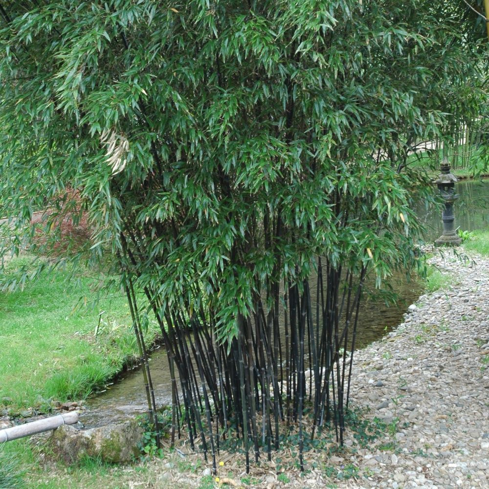 Bambou moyen phyllostachys nigra plantes et jardins for Plante et jardins