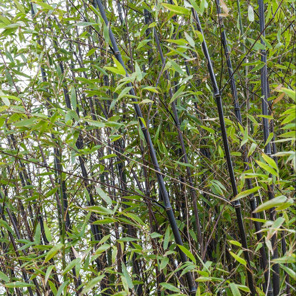 Bambou moyen phyllostachys nigra plantes et jardins for Plantes et jardins adresse