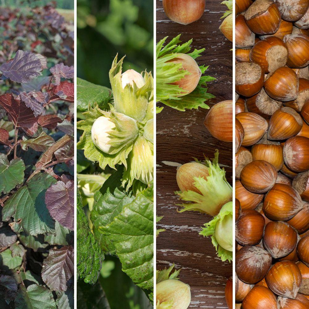 Kit de haie fruiti re 5 noisetiers vari s plantes et - Que planter en novembre au potager ...