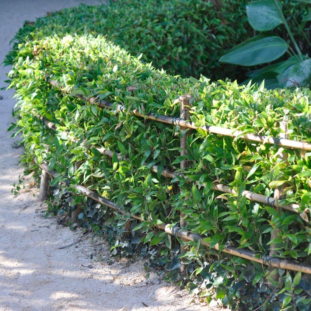Bambou nain shibataea kumasaca plantes et jardins - Que planter en janvier ...