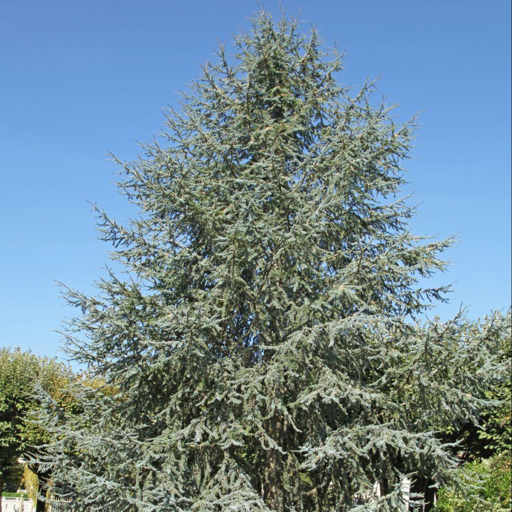 C dre bleu de l 39 atlas plantes et jardins - Cedre bleu du liban ...