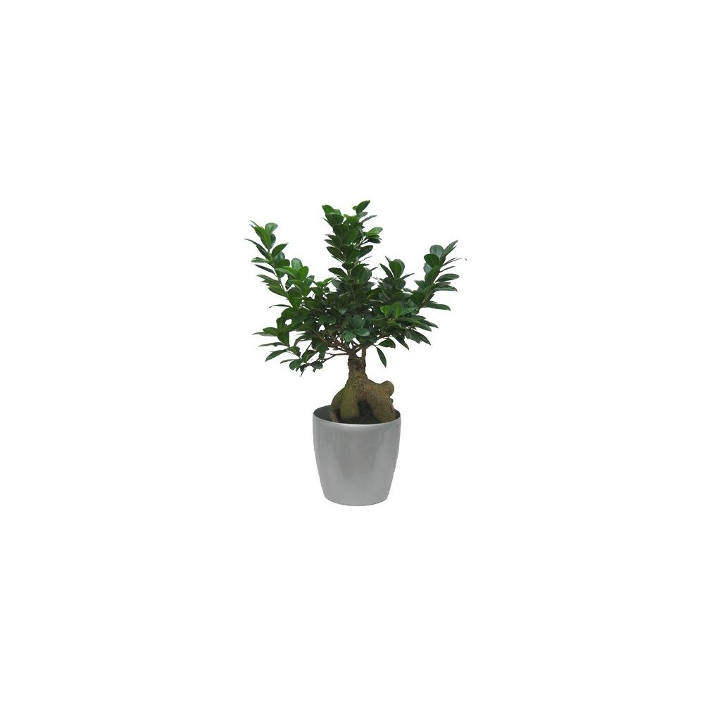 ficus retusa compacta cache pot argent plantes et jardins. Black Bedroom Furniture Sets. Home Design Ideas