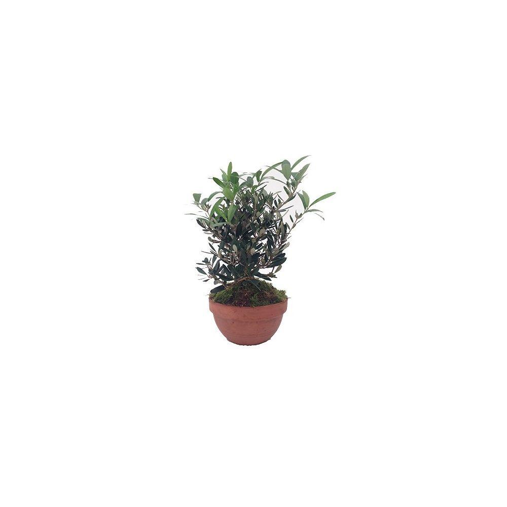 planter un olivier en pleine terre great planter un olivier l meilur planter son planter. Black Bedroom Furniture Sets. Home Design Ideas