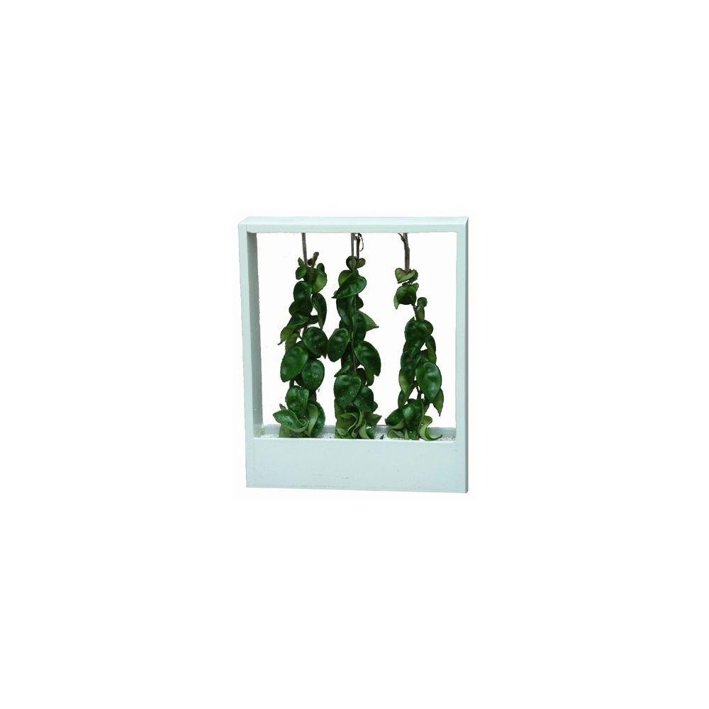 hoya carnosa dans son cadre en bois blanc plantes et jardins. Black Bedroom Furniture Sets. Home Design Ideas