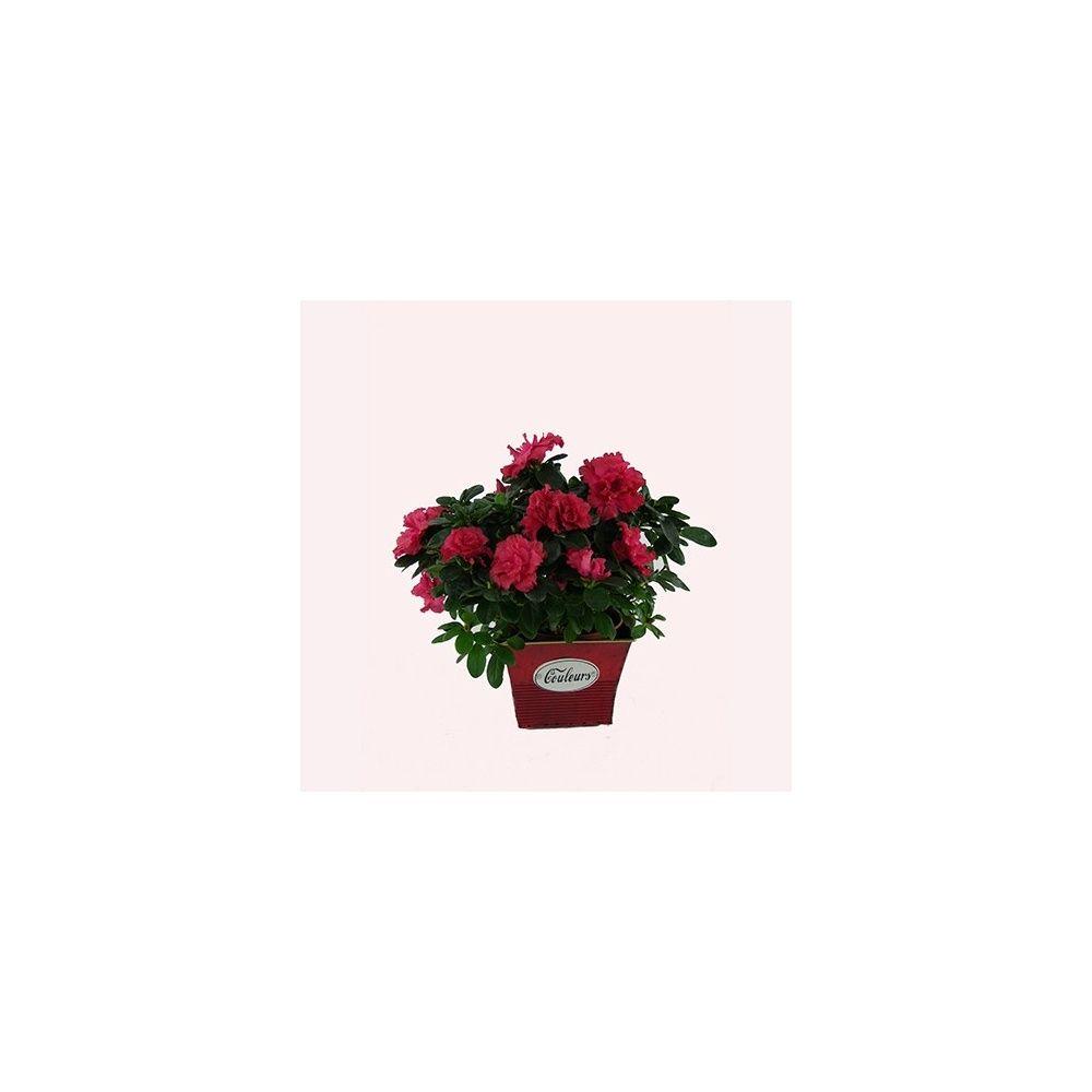 Azal e rouge de no l plantes et jardins for Plante noel rouge