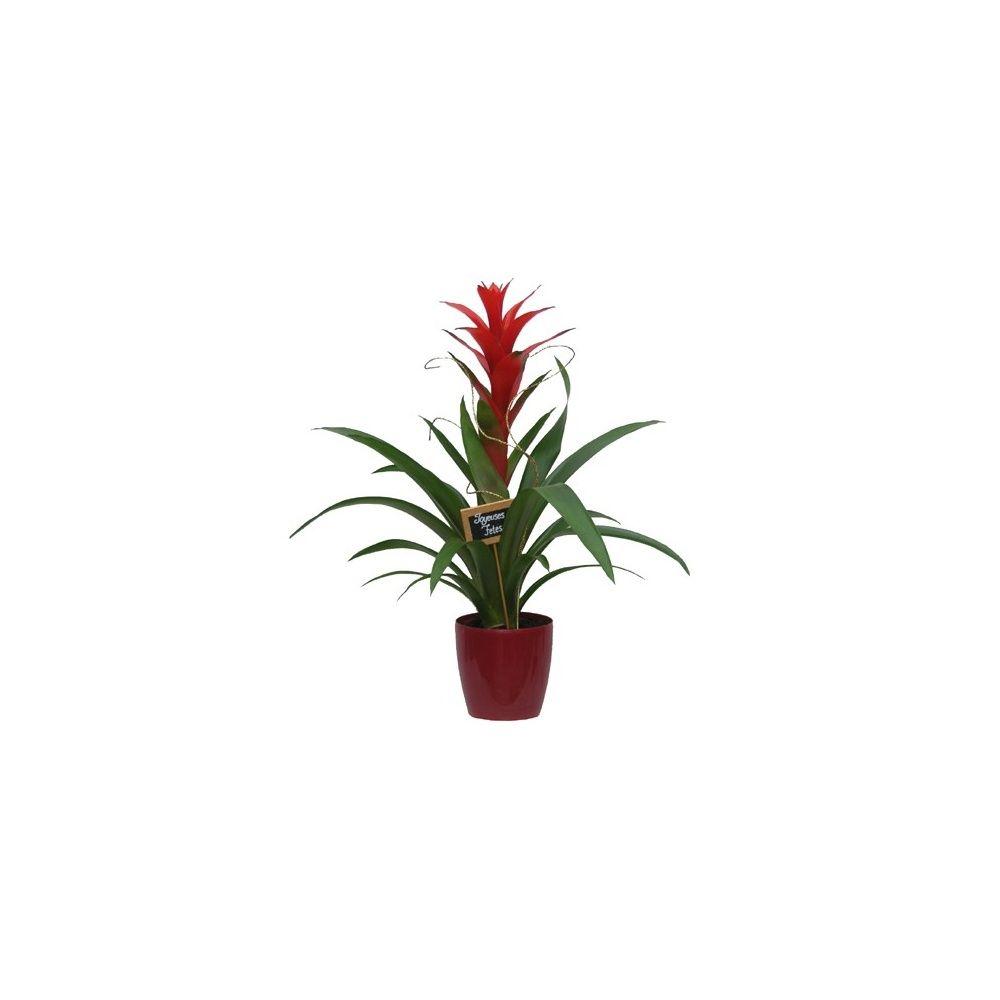 guzmania no l cache pot rouge plantes et jardins. Black Bedroom Furniture Sets. Home Design Ideas