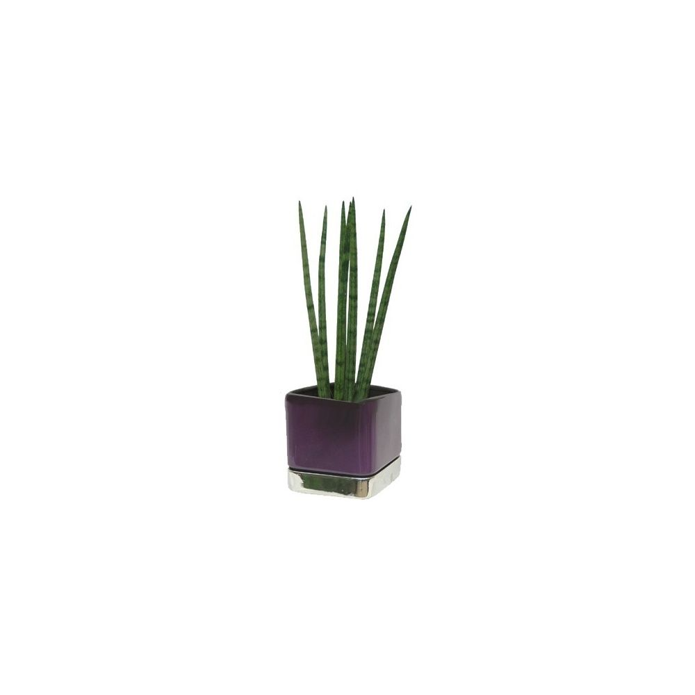sansevi re cylindrica cache pot violet et argent plantes et jardins. Black Bedroom Furniture Sets. Home Design Ideas