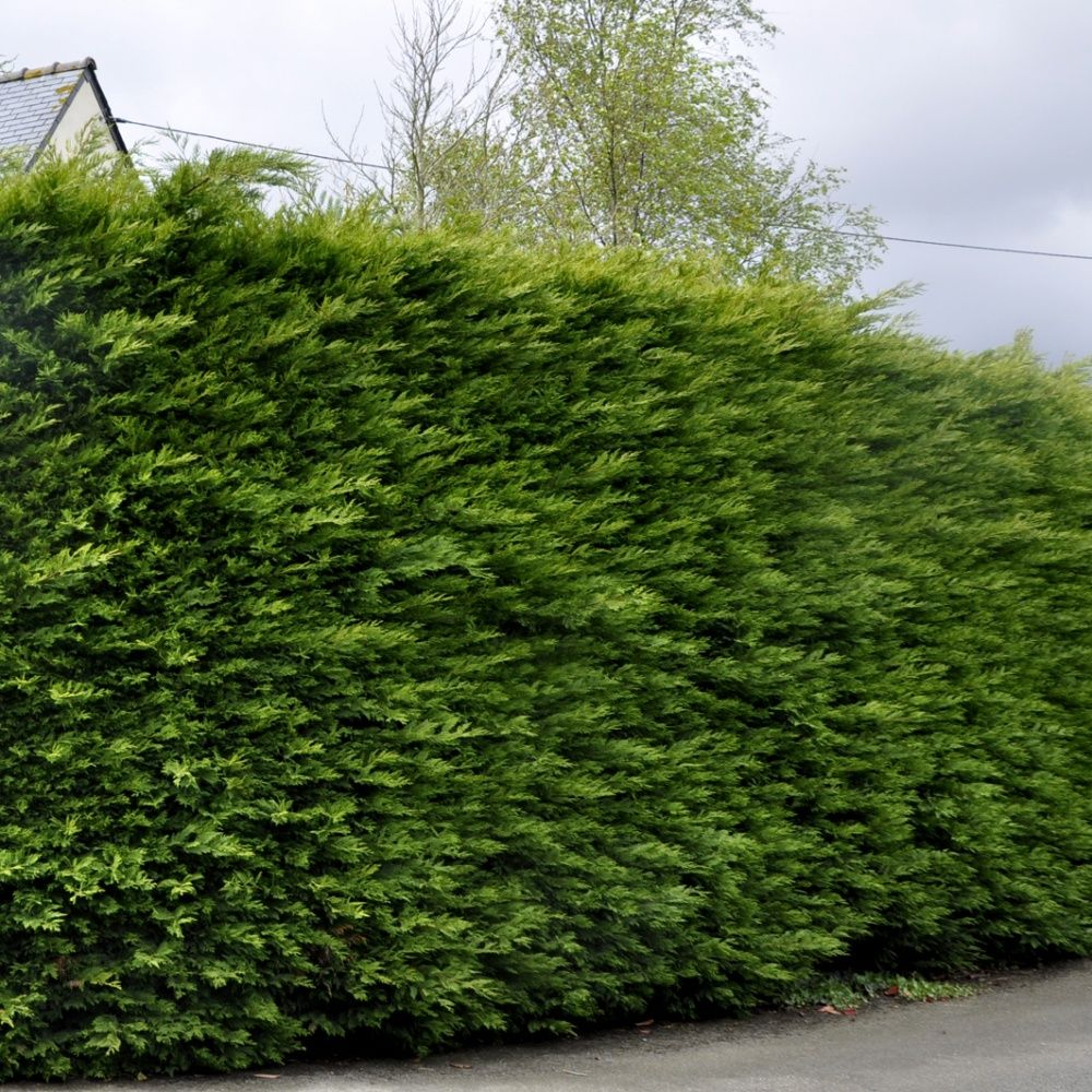Cypr s de leyland plantes et jardins - Quand tailler les cypres de leyland ...