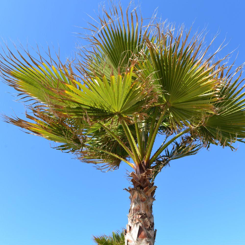 Palmier chanvre plantes et jardins for Plante palmier