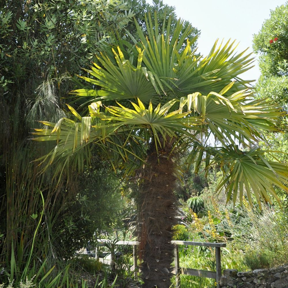 Palmier chanvre plantes et jardins - Racine d un palmier ...