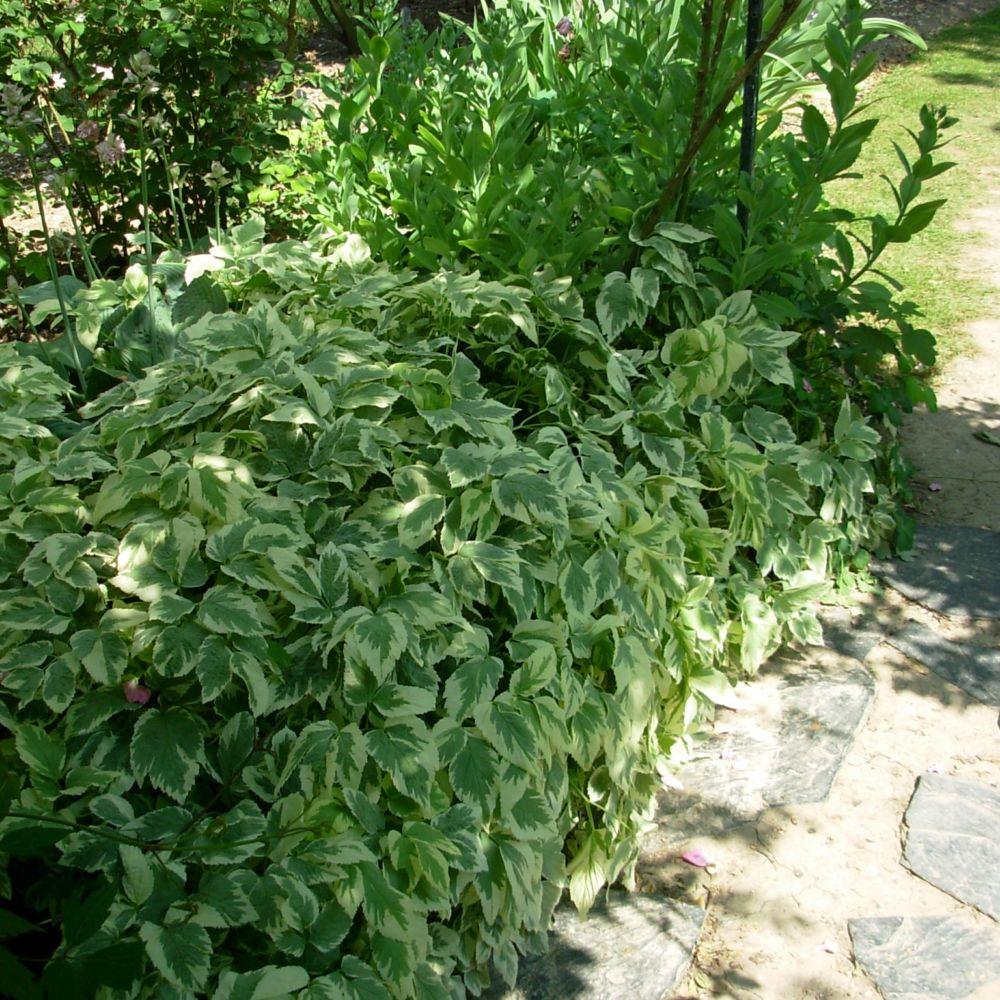 Aegopodium podagraria variegatum plantes et jardins for Plante et jardin catalogue
