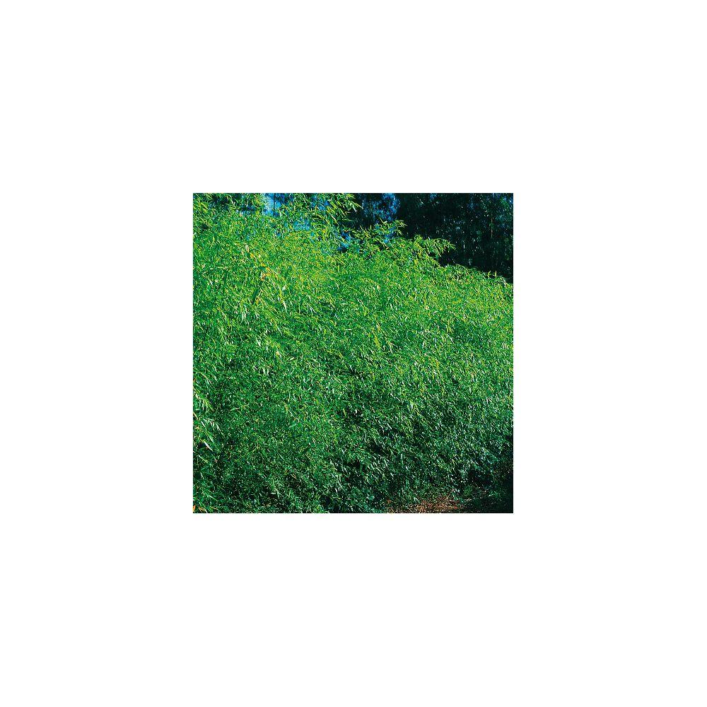 bambou - Ecosia