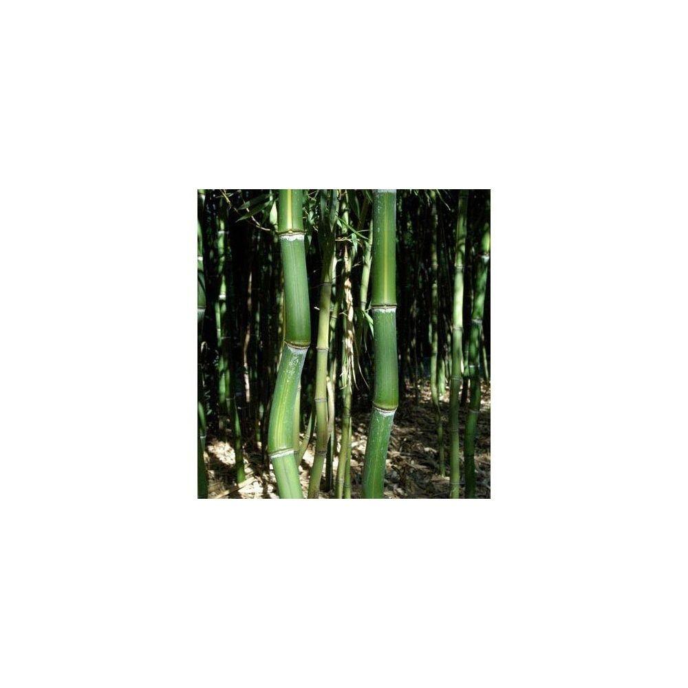 Bambou moyen phyllostachys arcana 39 luteosulcata for Bambou moyen phyllostachys bissetii