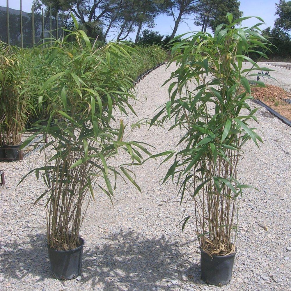 bambou moyen pseudosasa japonica plantes et jardins. Black Bedroom Furniture Sets. Home Design Ideas