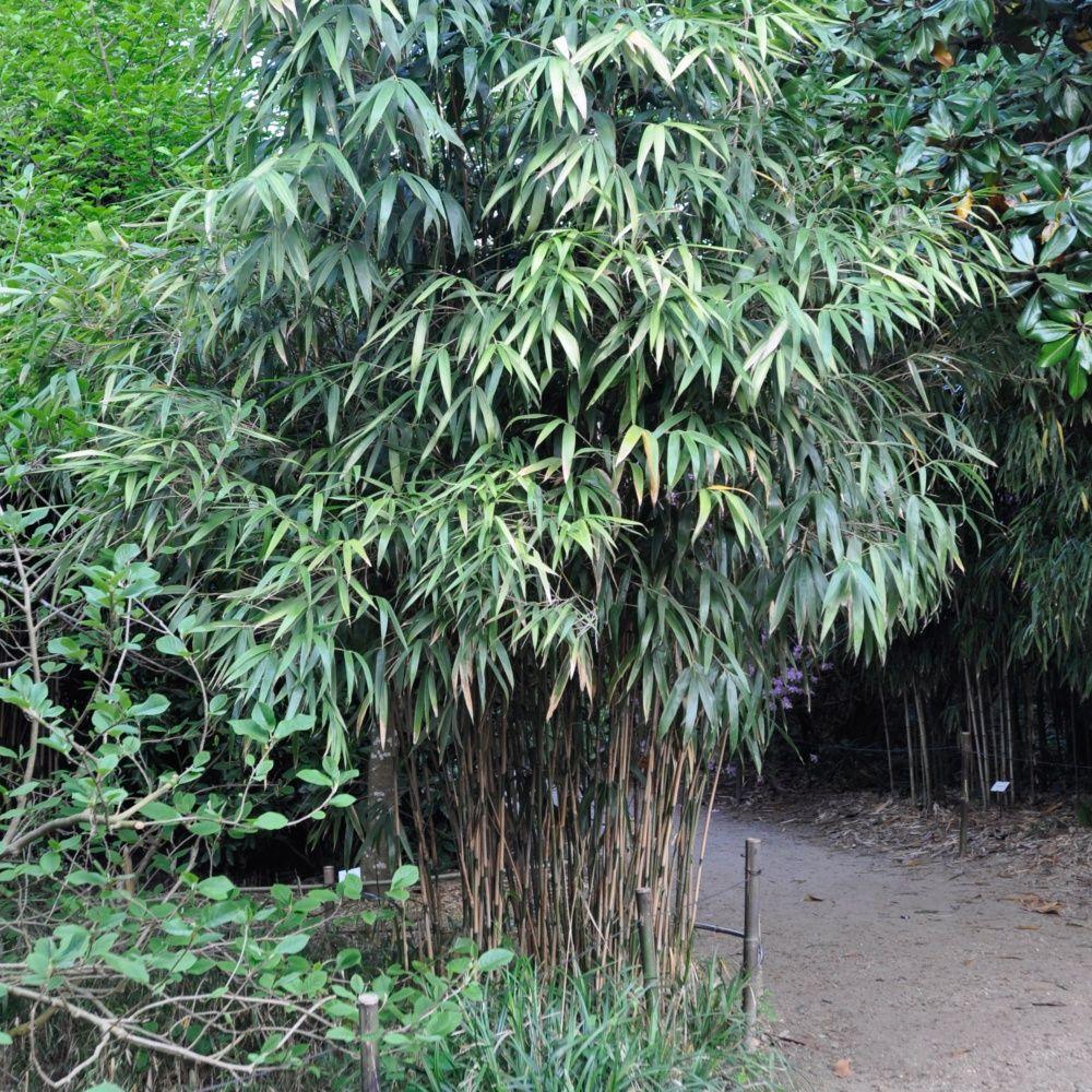 Bambou moyen pseudosasa japonica plantes et jardins for Plante et jardin catalogue