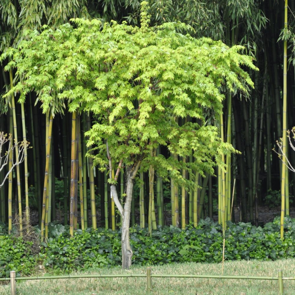 erable du japon 39 sangokaku 39 plantes et jardins. Black Bedroom Furniture Sets. Home Design Ideas