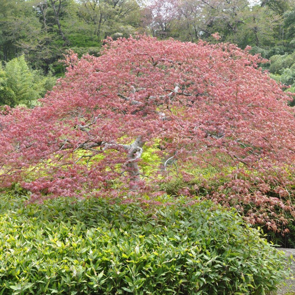 erable du japon 39 crimson queen 39 plantes et jardins. Black Bedroom Furniture Sets. Home Design Ideas