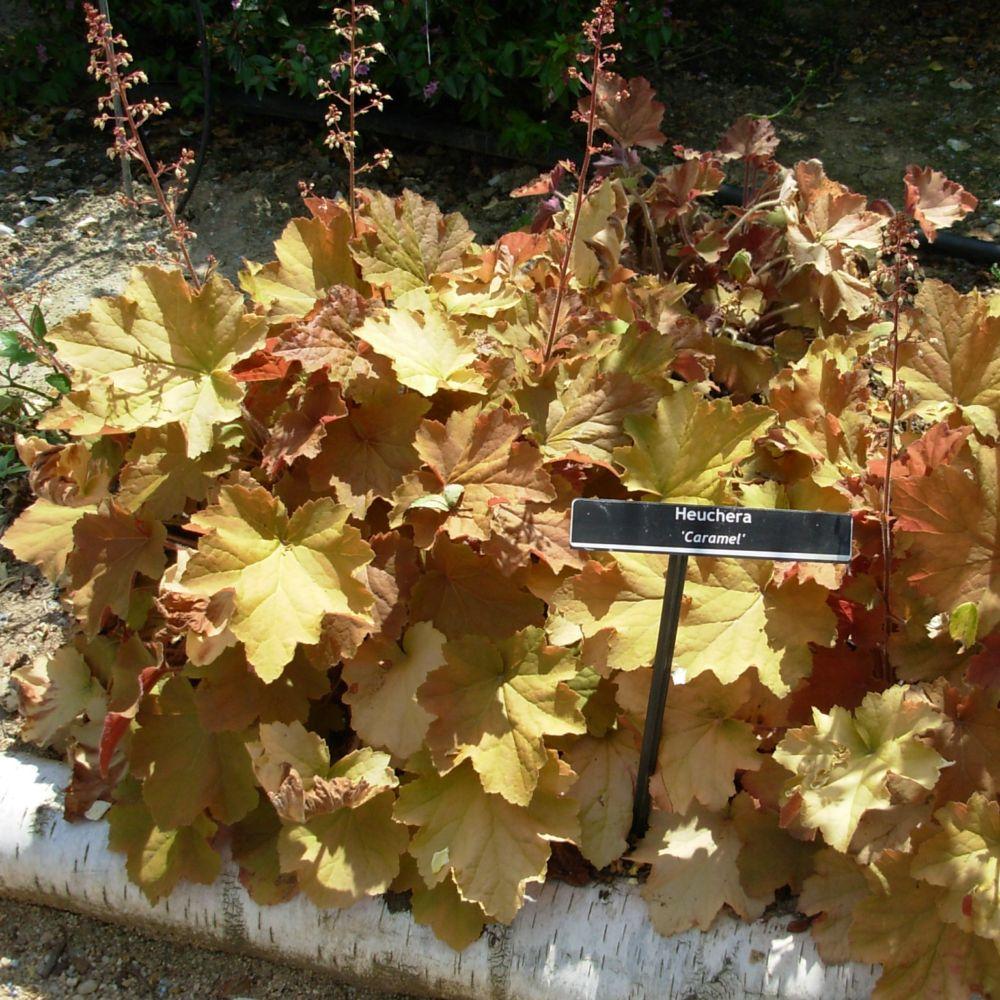 Heuchera villosum caramel plantes et jardins for Plantes et jardins adresse