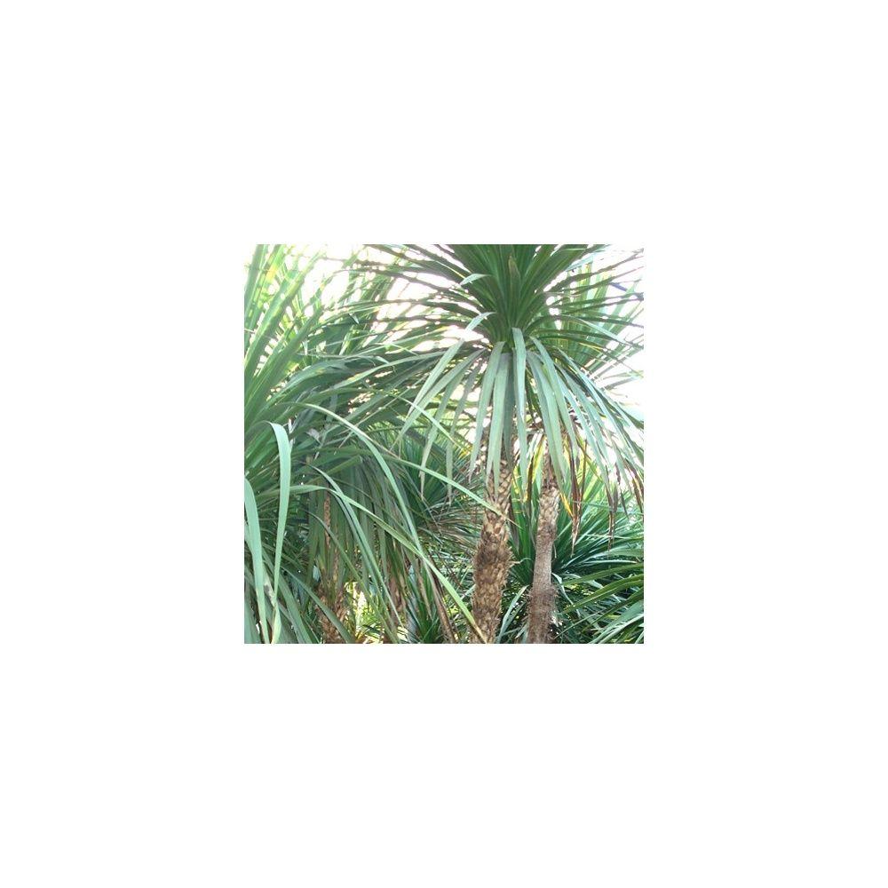Cordyline indivisa plantes et jardins for Plantes et jardins