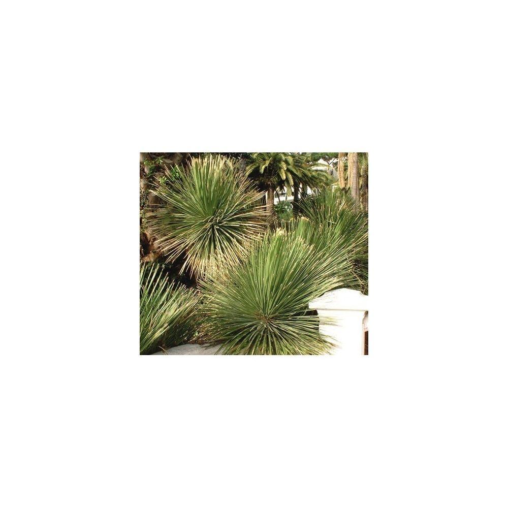Dasylirion glaucophyllum plantes et jardins for Plante et jardin catalogue