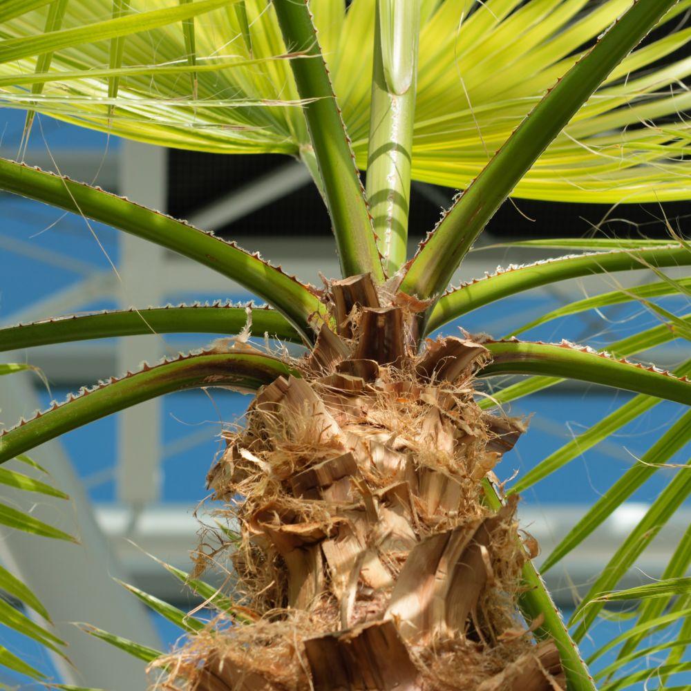 Palmier chanvre plantes et jardins for Maladie palmier interieur