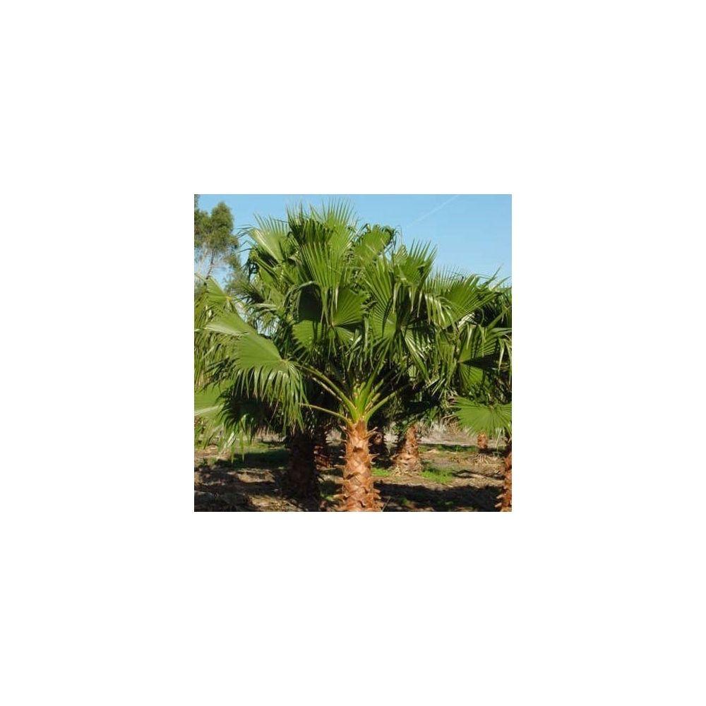 Palmier du mexique plantes et jardins - Plante du mexique ...