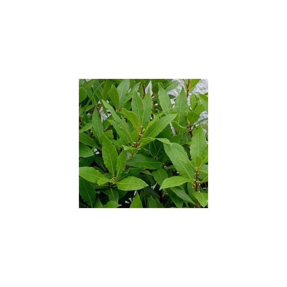 Laurier sauce plantes et jardins for Plante et jardin catalogue