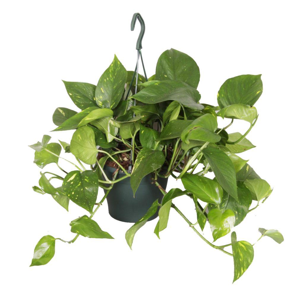 pothos scindapsus aureus plantes et jardins. Black Bedroom Furniture Sets. Home Design Ideas