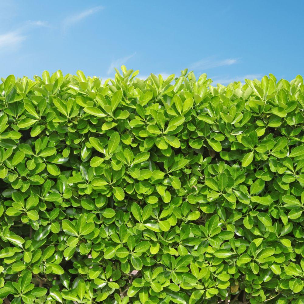 Fusain du japon 39 vert 39 plantes et jardins - Plante et jardins ...