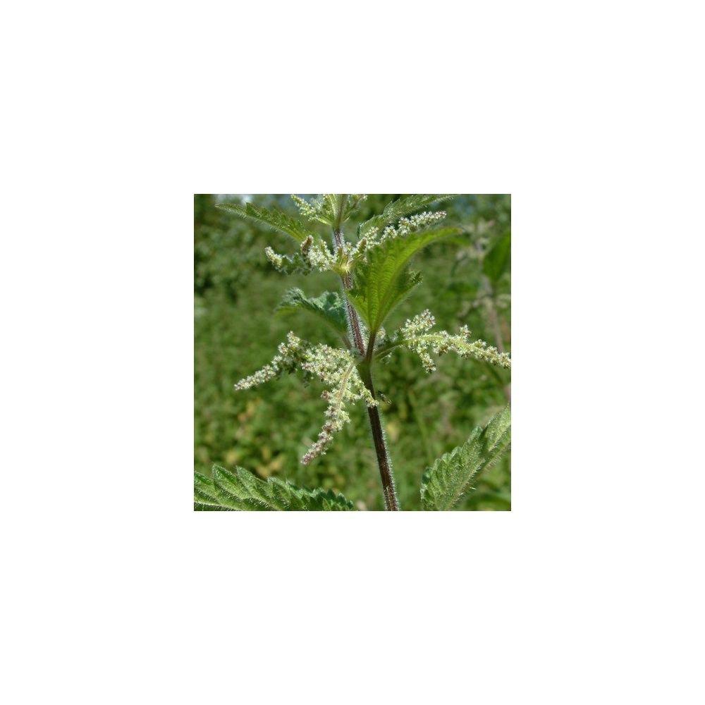 Une fleur utile au potager l 39 ortie sauvage plantes et for Plante utile
