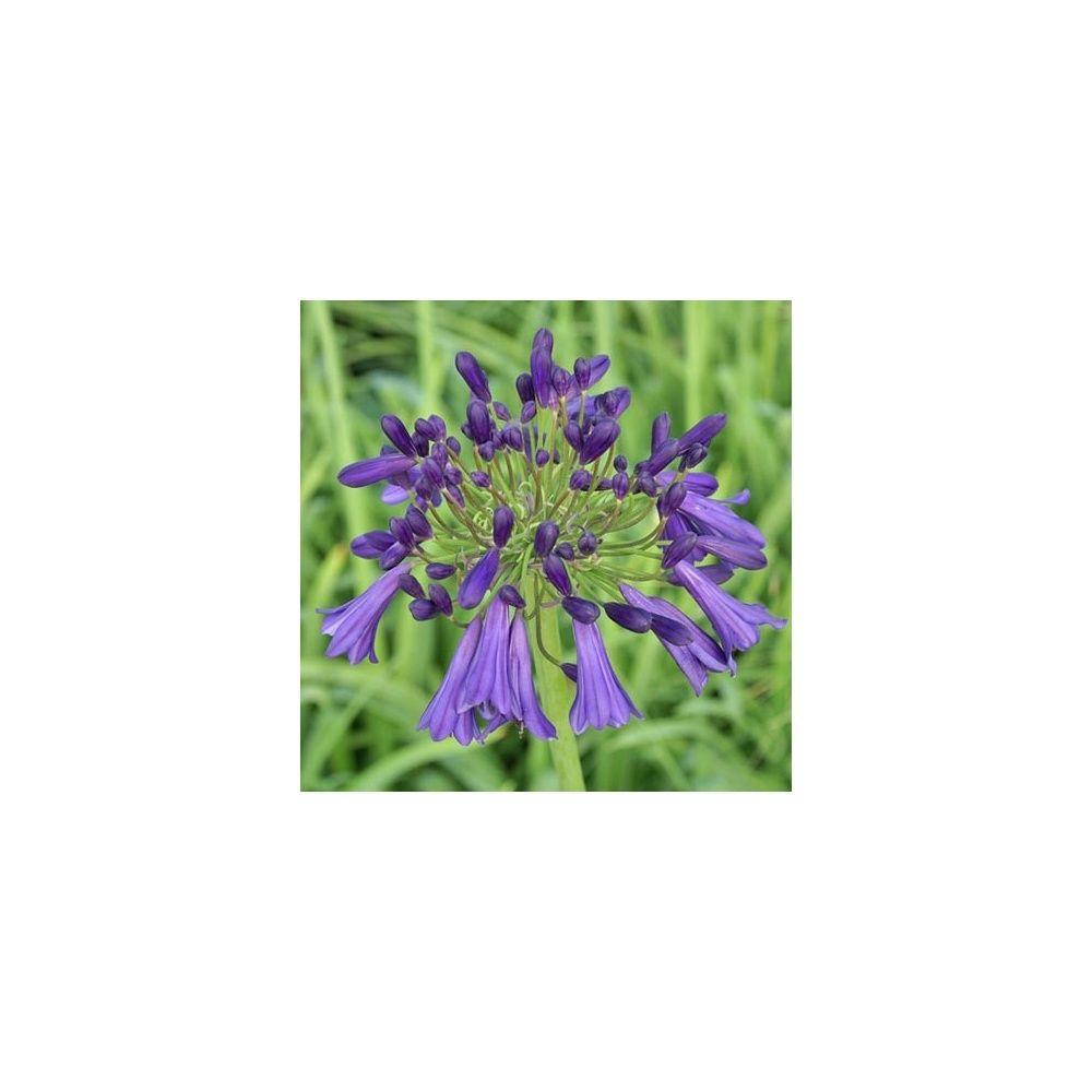 Agapanthe 39 purple cloud 39 plantes et jardins - Plante et jardins ...