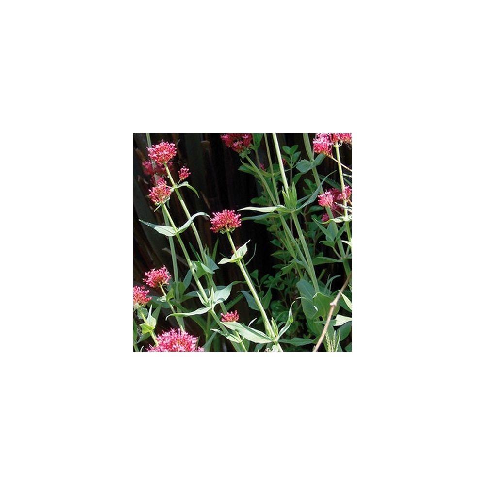 Une fleur utile au jardin la val riane plantes et jardins for Plante au jardin