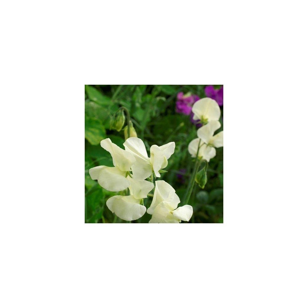 Une fleur utile au jardin le pois de senteur blanc for Plante au jardin