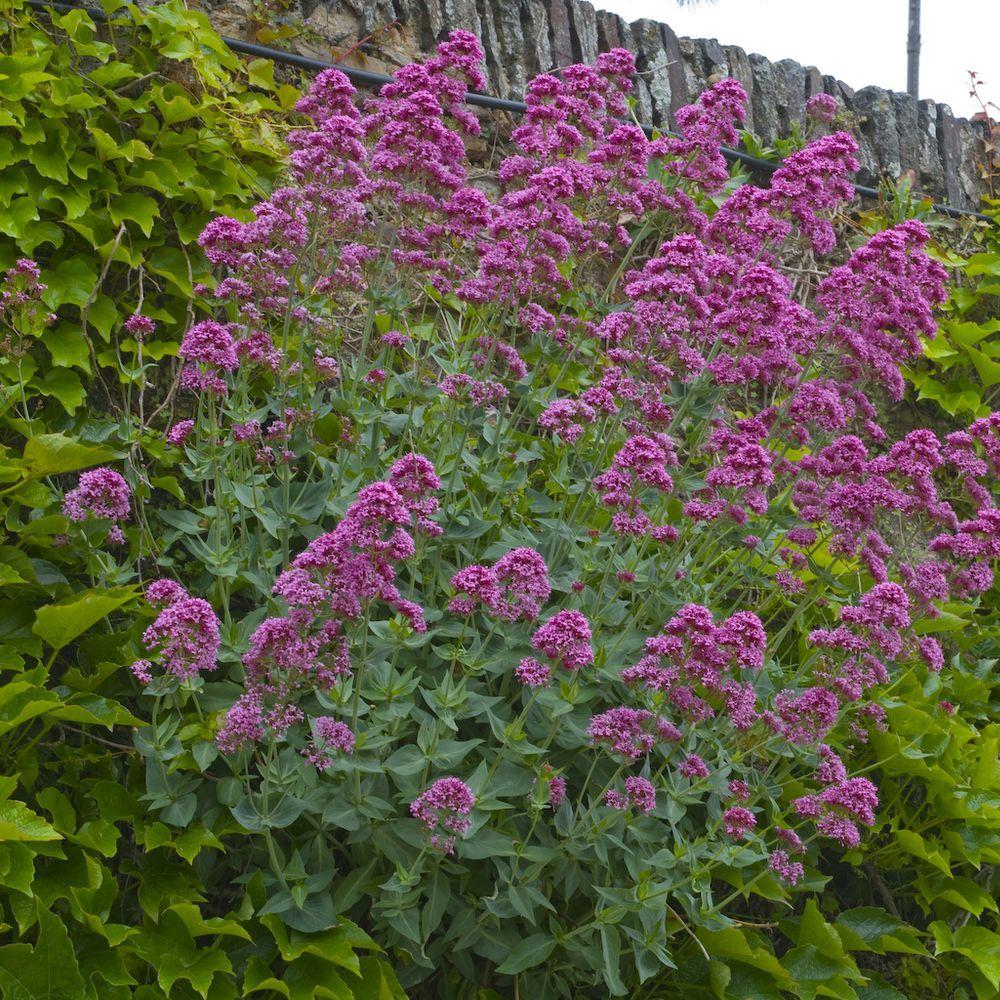 Centranthus ruber coccineus plantes et jardins for Plante et jardins