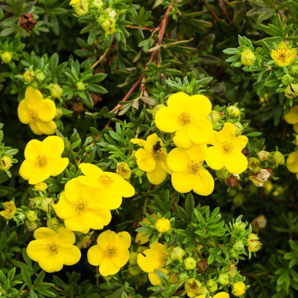 Potentille arbustive 39 goldfinger plantes et jardins for Plante et jardins