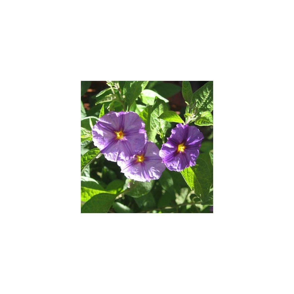 Solanum rantonnetii bleu plantes et jardins for Plante et jardins