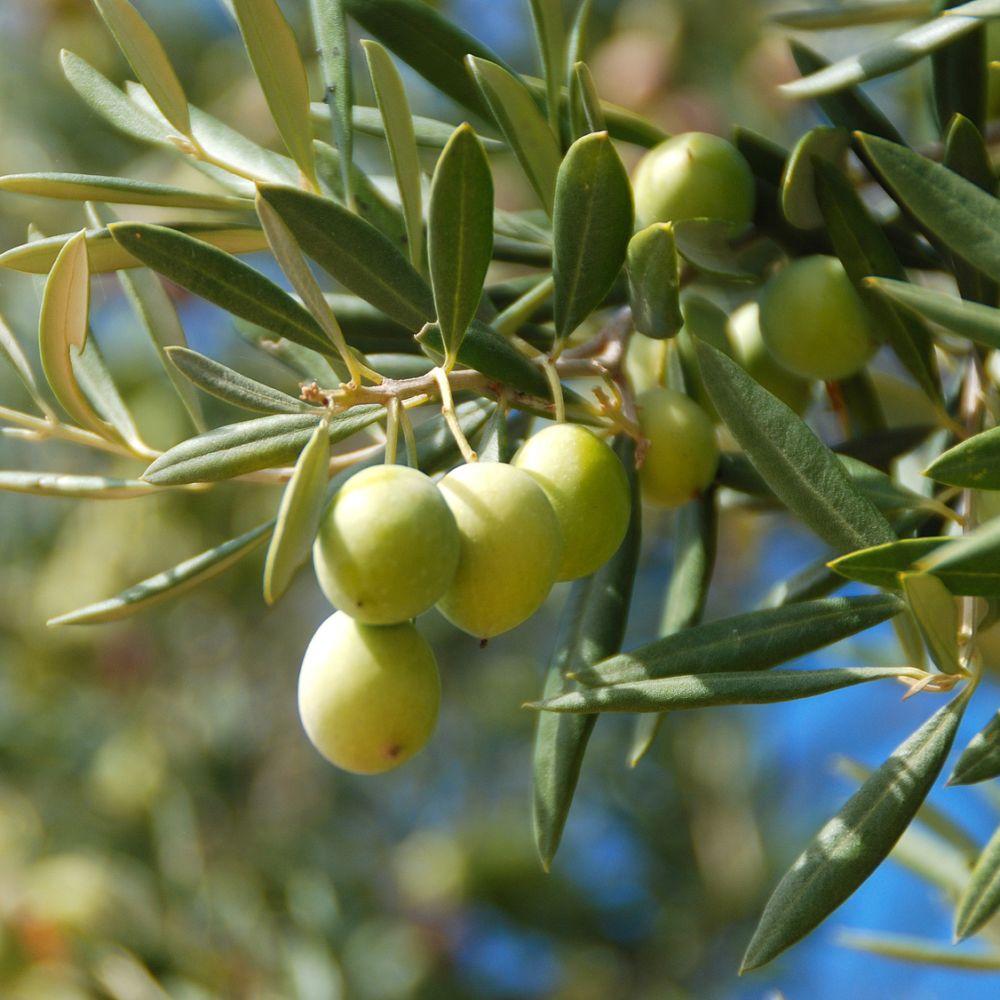 Olivier plantes et jardins - Psylle de l olivier ...