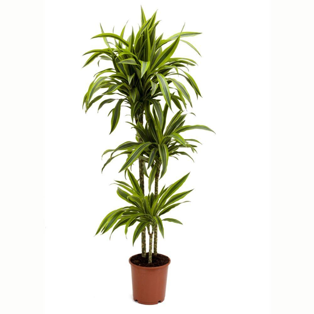 dracaena 39 lemon lime 39 130 140 cm plantes et jardins. Black Bedroom Furniture Sets. Home Design Ideas