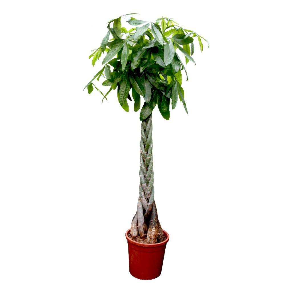 pachyra aquatica tress plantes et jardins. Black Bedroom Furniture Sets. Home Design Ideas
