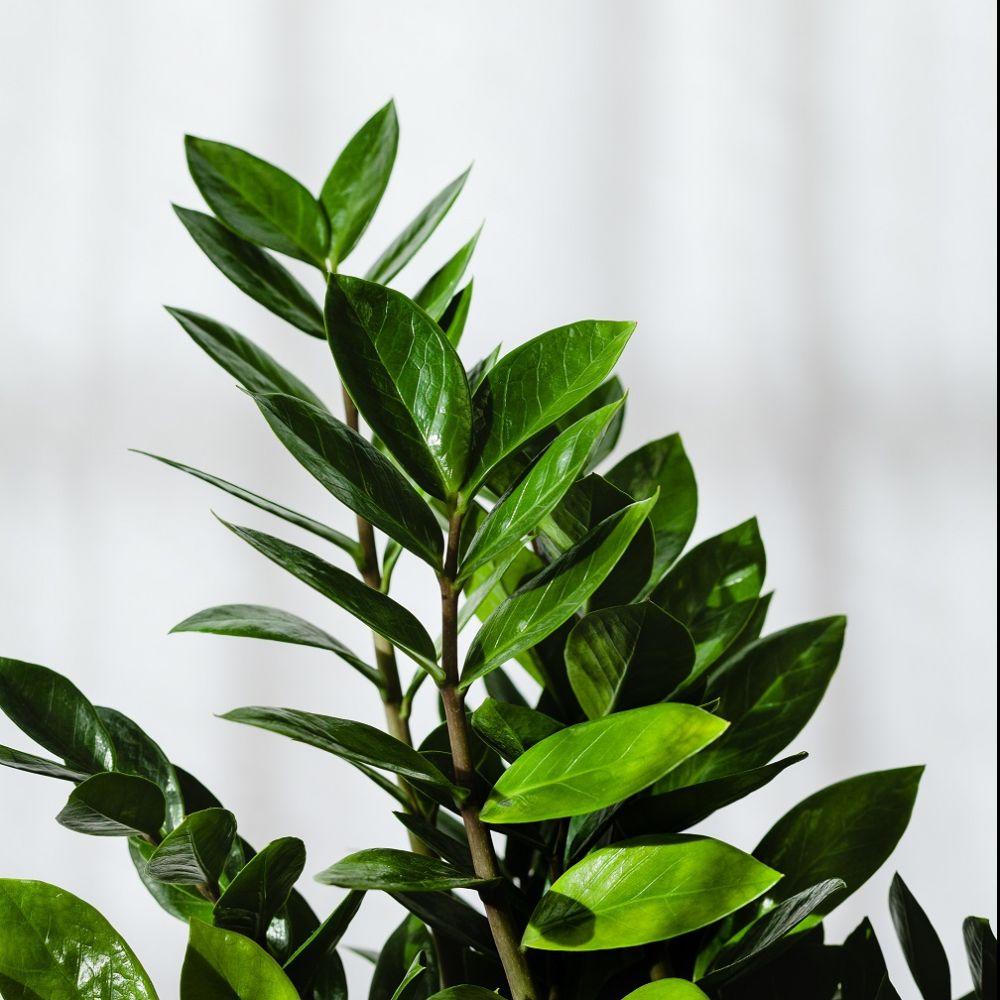 Zamioculcas plantes et jardins for Plante et jardin catalogue