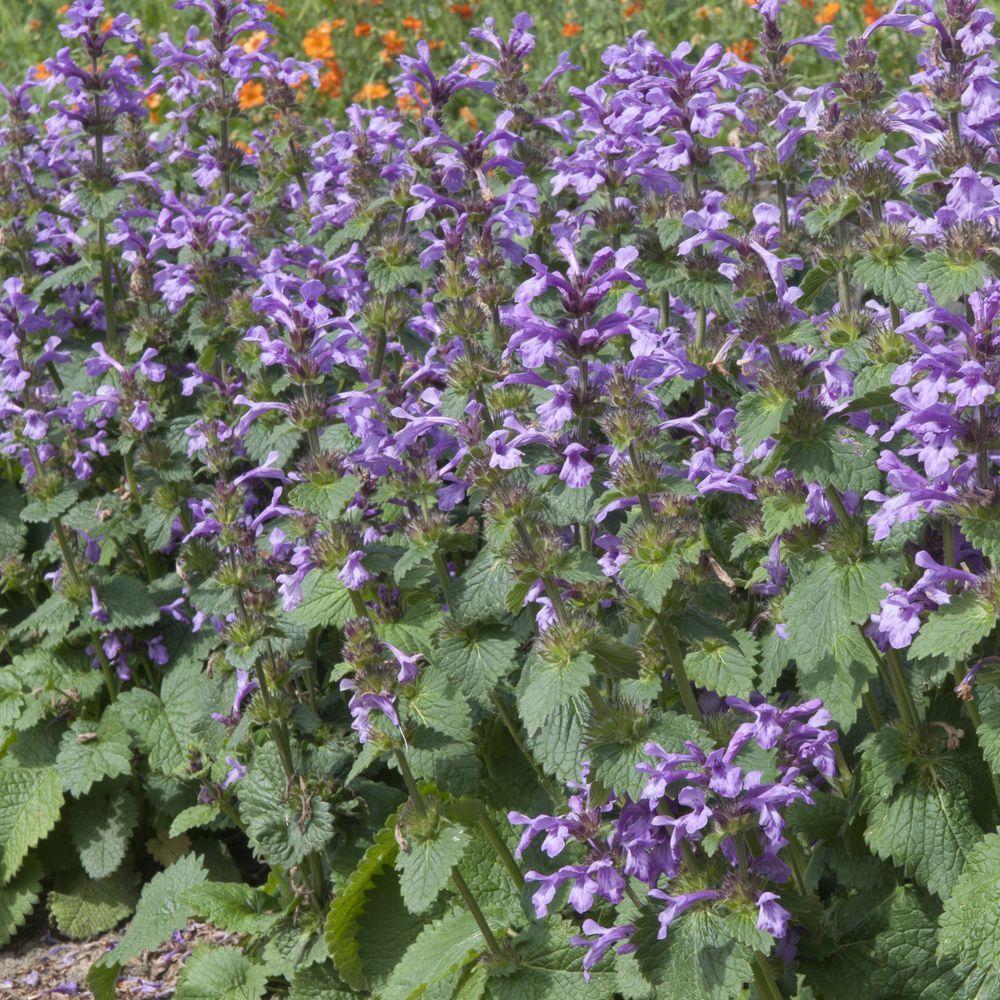 Stachys macrantha plantes et jardins for Plantes et jardins