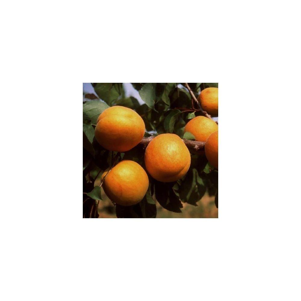 Abricotier 39 bergeron 39 taille en quenouille pot de 10 l for Taille des abricotiers bergeron