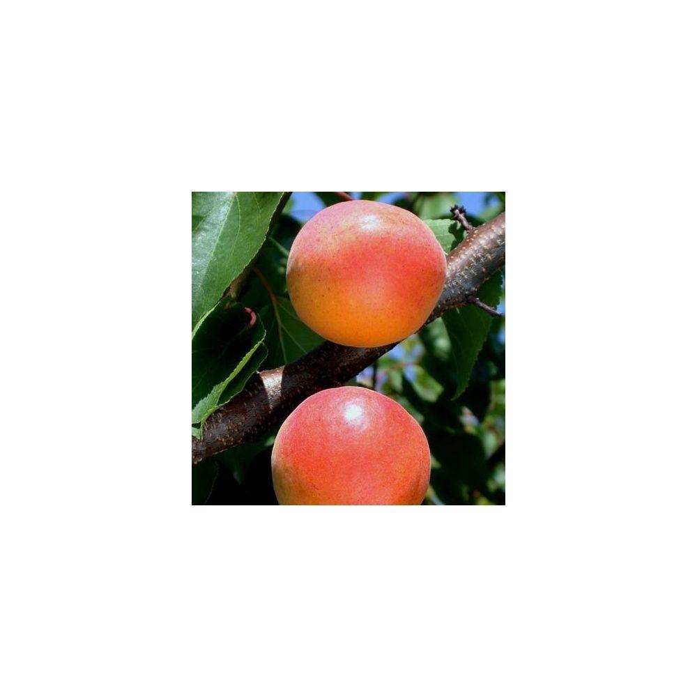 Abricotier 39 goldrich 39 taille en quenouille pot de 10 l plantes et jardins - Taille de l abricotier ...
