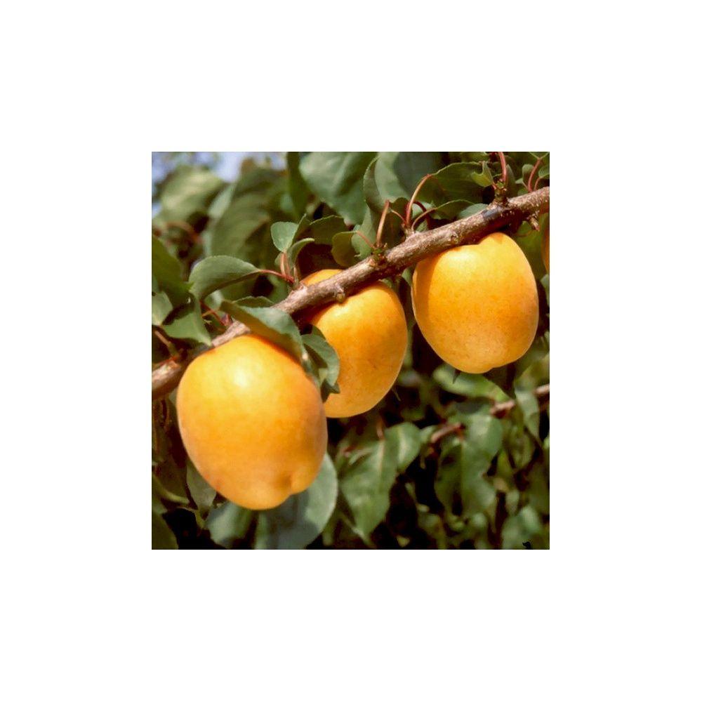 Abricotier 39 hargrand 39 taille gobelet en pot 12 l - Taille de l abricotier ...