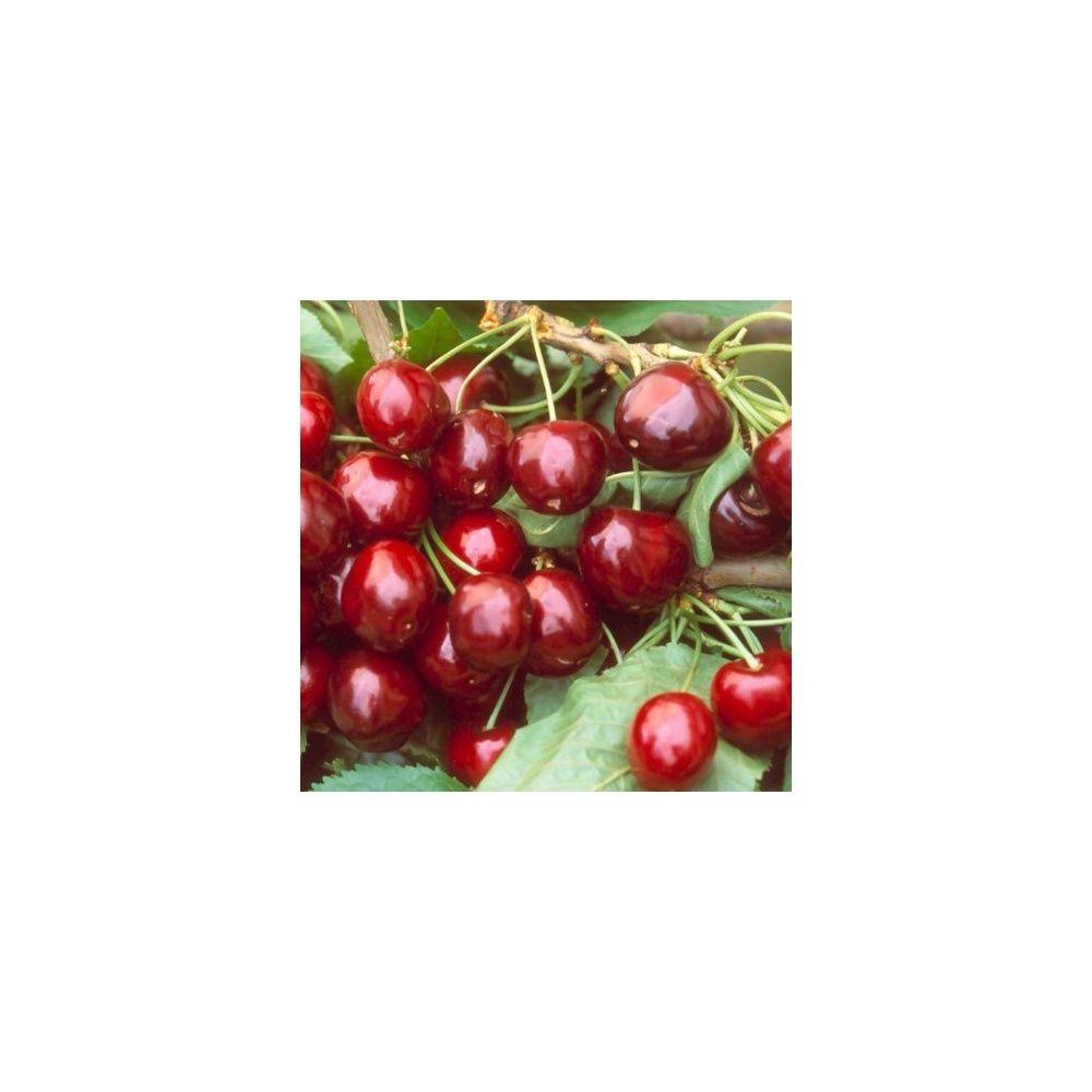 cerisier 39 bigarreau g ant d 39 hedelfingen 39 taille en quenouille pot de 10 l plantes et jardins. Black Bedroom Furniture Sets. Home Design Ideas