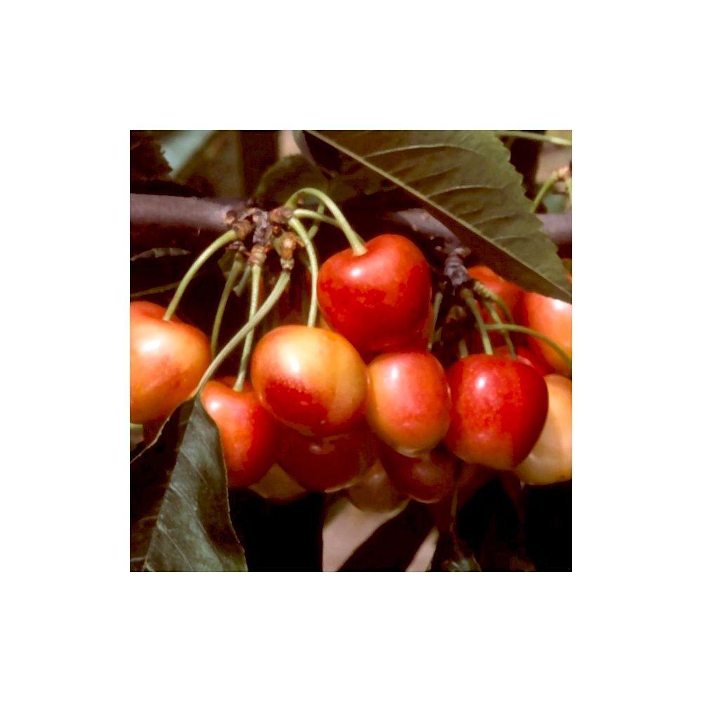 cerisier 39 bigarreau napol on 39 taille en quenouille pot de 10 l plantes et jardins. Black Bedroom Furniture Sets. Home Design Ideas